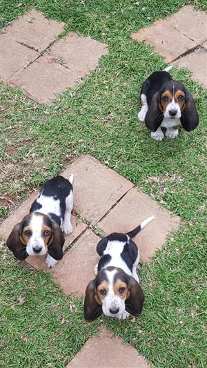 PUREBRED BASSET HOUND PUPPIES URGEND NEED GOOD HOMES