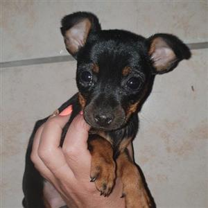 mini doberman bokkie puppy