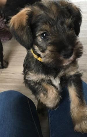 11weeks Boys and Girls Miniature Schnauzers
