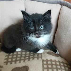 Longhair Domestic kittens