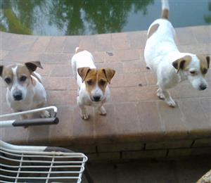 Jack Russell's