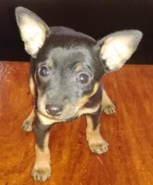 Miniature Pinscher Puppy (Boy) for sale