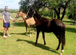 2 Foals for sale