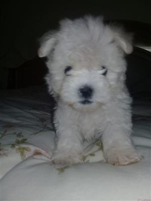 Maltese pup's
