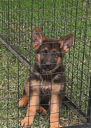 Pedigree German sheperd Puppy