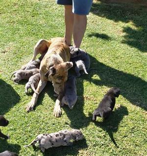 Great Dane x Labrador Retriever puppies available