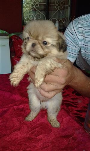 Pekinese pure breed puppies for sale