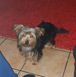 Male Yorkshire Terrier for sale