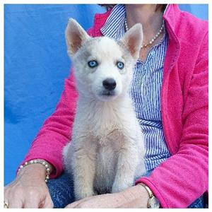 siberian husky For Sale in Dogs and Puppies in Pretoria | Junk Mail