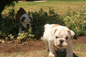 Gorgeous KUSA Reg English Bulldog puppies available and ready to go