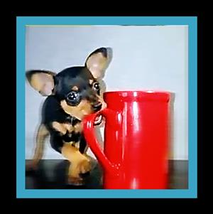 Miniatuur Doberman Pinscher Short Leg Teacup