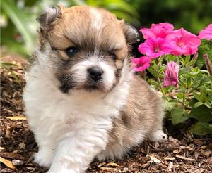 Brown and White coated Pomeranian Puppy