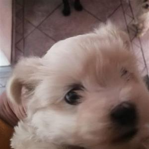 Maltese Male Puppy