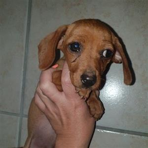mini dachshund puppy