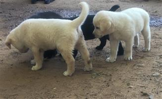 Labrador/sheepdog cross puppies