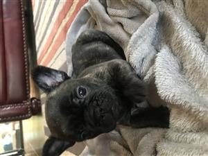 Female French bulldog puppy for sale | Junk Mail