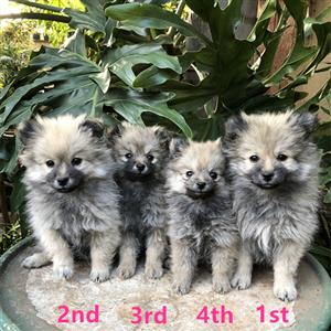 Pomeranian Puppies (Toy poms) for Sale