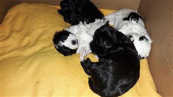 MORKIE PUPPIES (Maltese cross Biewer Yorkies ) FOR SALE