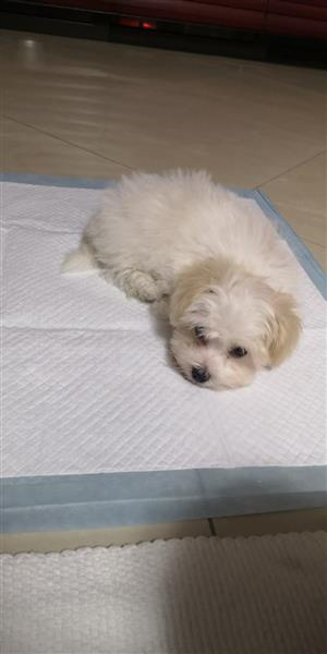 Miniature maltese puppy for sale