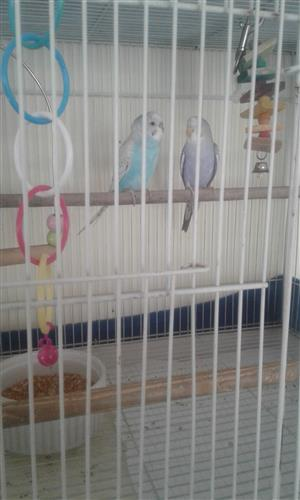 2 Beautiful rare coloured budgies for sale with large cage and accessories