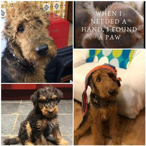 Airedale Terrier puppies KUSA REGISTERED for sale