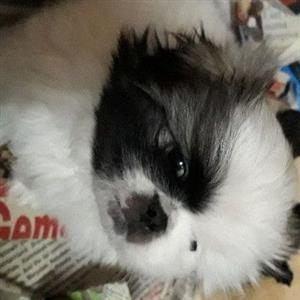 1 x male pekingese puppy