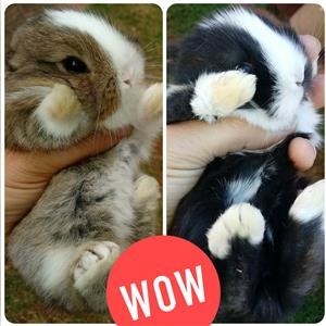 Angora dwarf/Jersey wooly bunnies for sale - Very cute!