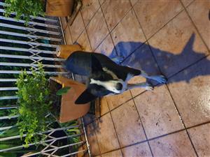 Border collie cross female dog