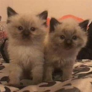 Choc mitted and Seal point Rag Doll kittens