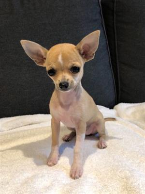 2 Chihuahua Puppies - Fawn & White