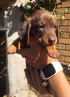 Dachshund Male  Puppies for sale