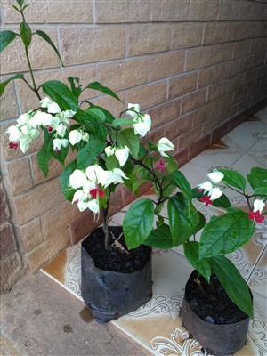 Bleeding heart plants for sale. R30each