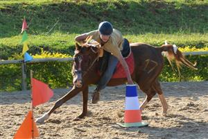 Chestnut Arabian x Gelding for sale