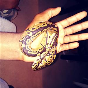 Ball python for sale in Durban R600