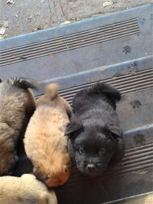 Chinese Chow pups