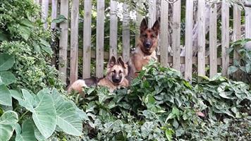 Thoroughbred German Shepherd Pups