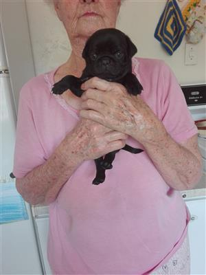 Black Pug puppy male