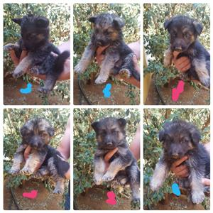 German Sheppard puppies for sale