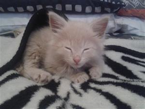 Beautiful baby girl kitten for sale