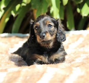 Miniature longhaired dachshund for sale