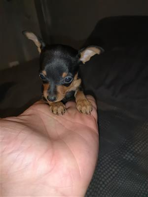 Miniature Doberman Pincher Bokkie Very Small Kind