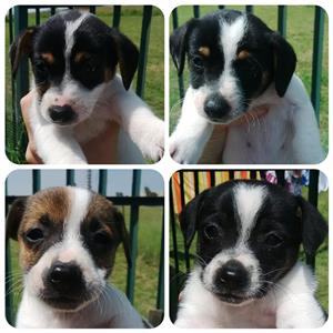 Jack Russel X puppies
