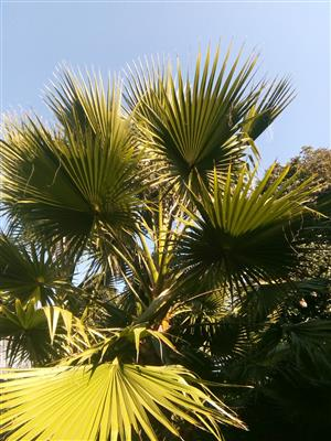 Fan Leave Palm Trees for sale