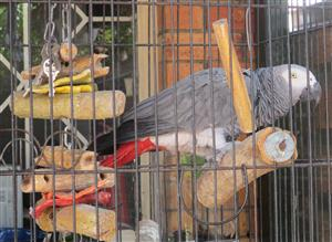 Missing African Grey REWARD OFFERED.