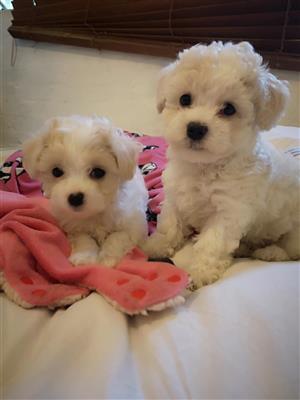 Adorably cute mini maltese