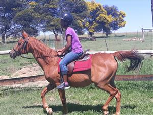 Arab horse gelding