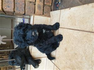 Thoroughbred Bouvier puppies for sale
