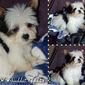 Pocket Size Biewer Yorkie Male Pup