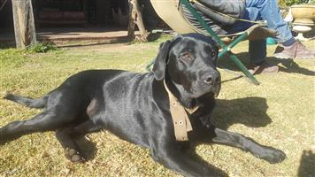 Labrador female blackLabrador R200
