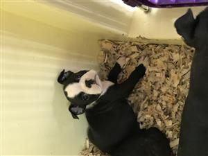 Boston terriër puppies